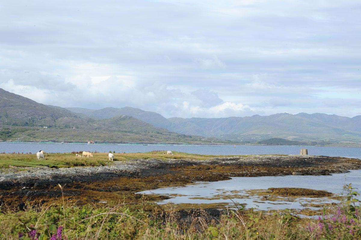 Des vaches paissent en toute tranquillité au bord de l'eau, sur Bere Island, dans la baie de Bantry, en Irlande - Skippair